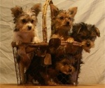 Yorkshire Terrier Puppy For Sale in BIRON, WI, USA