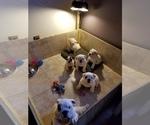 English Bulldog Puppy For Sale in BLACKWOOD, NJ, USA