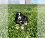 Small Photo #1 Bernedoodle Puppy For Sale in MACON, IL, USA