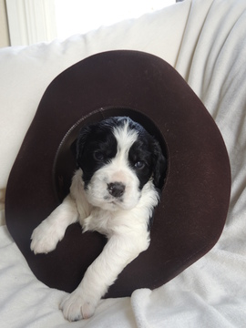 View Ad English Springer Spaniel Litter Of Puppies For Sale Near