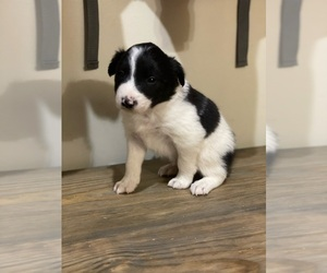 Border Collie Litter for sale in WOLCOTT, IN, USA