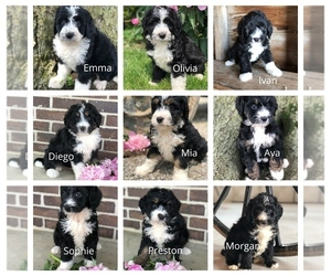 Miniature Bernedoodle Litter for sale in LEO, IN, USA