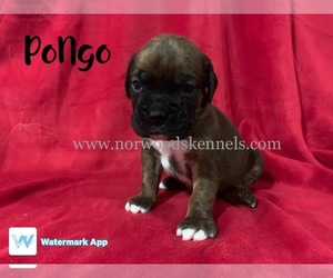 Boxer Litter for sale in ELBERTON, GA, USA