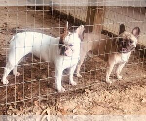 French Bulldog Litter for sale in CAPE CORAL, FL, USA