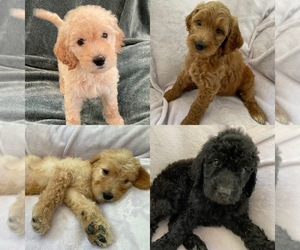 Double Doodle Litter for sale in DURHAM, NC, USA