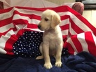 Labradoodle Puppy For Sale in CRESTVIEW, FL, USA