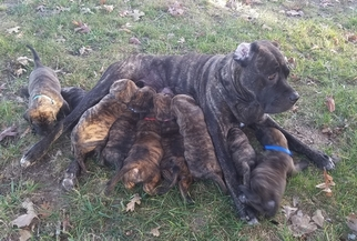 View Ad Cane Corso Mastiff Mix Litter Of Puppies For Sale Near