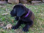 Labrador Retriever Puppy For Sale in READING, PA, USA