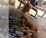 Golden Retriever Puppy For Sale in SAINT GEORGE, KS, USA