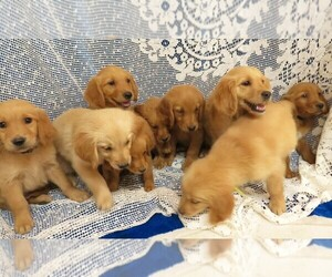 Golden Retriever Litter for sale in NORWOOD, MO, USA