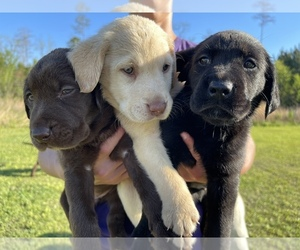 Labrador Retriever Litter for sale in REIDSVILLE, GA, USA