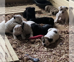 American Bully Puppy For Sale in MIDDLETOWN, OH, USA
