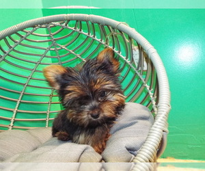 Yorkshire Terrier Litter for sale in PATERSON, NJ, USA