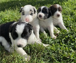 Border Collie Litter for sale in PLYMOUTH, IN, USA