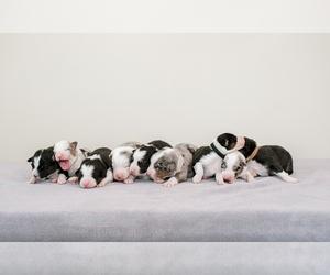 Australian Shepherd Litter for sale in LA RUE, OH, USA