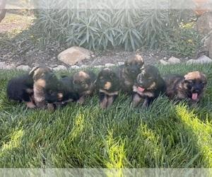 German Shepherd Dog Litter for sale in OJAI, CA, USA