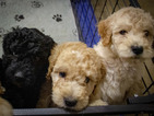 Goldendoodle-Poodle (Standard) Mix Puppy For Sale in REDDING, CA, USA
