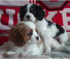 Cavalier King Charles Spaniel Litter for sale in HOWLAND, OH, USA