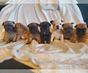 French Bulldog Litter for sale in HUMBOLDT, SD, USA