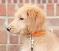 Goldendoodle Puppy For Sale in KERNERSVILLE, NC, USA
