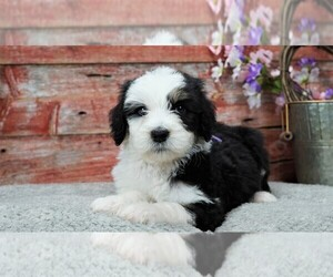Sheepadoodle Litter for sale in KARLSTAD, MN, USA