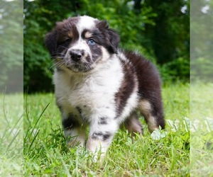 Australian Shepherd Litter for sale in WARSAW, IN, USA