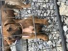Bullmastiff Puppy For Sale in KENTON, OH, USA