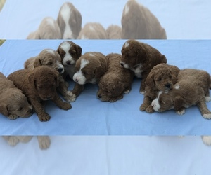 Labradoodle-Poodle (Miniature) Mix Litter for sale in BOWLING GREEN, KY, USA