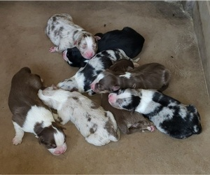 Australian Shepherd Litter for sale in BAILEYTON, AL, USA