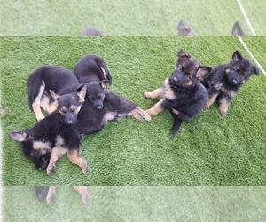German Shepherd Dog Litter for sale in SANTA ROSA, CA, USA