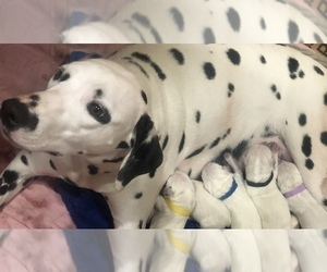 Dalmatian Litter for sale in NEW MILFORD, CT, USA