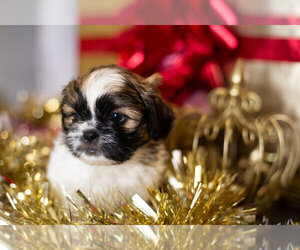 Shih Tzu Litter for sale in CLEARWATER, FL, USA