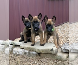 Belgian Malinois Litter for sale in OZARK, MO, USA