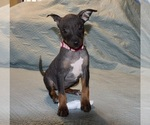 Small American Hairless Terrier