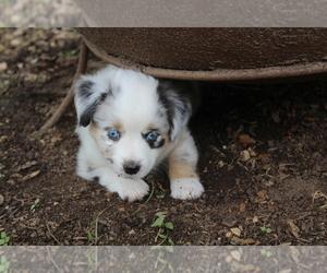 Australian Shepherd Litter for sale in GEORGETOWN, TX, USA