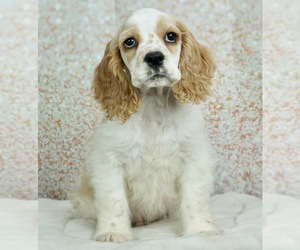Cocker Spaniel Litter for sale in WARSAW, IN, USA