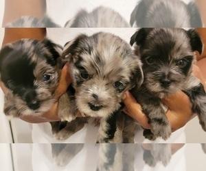 Yorkshire Terrier Litter for sale in LEANDER, TX, USA