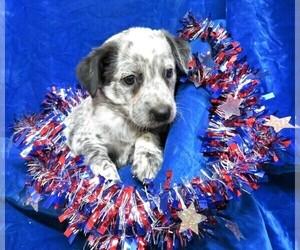 Australian Cattle Dog Litter for sale in GROVESPRING, MO, USA