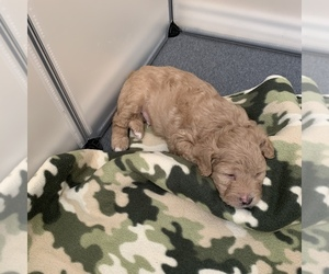 Maltipoo Litter for sale in BAYTOWN, TX, USA