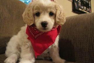 Puppyfinder com: Cockapoo puppies puppies for sale near me