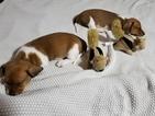 Dachshund Puppy For Sale in LEANDER, TX, USA