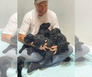 Poodle (Standard) Litter for sale in PANAMA CITY, FL, USA