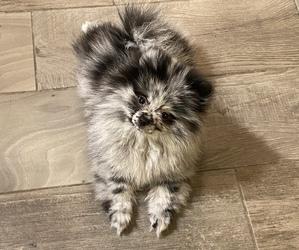 Pomeranian Litter for sale in EDGEWATER, FL, USA
