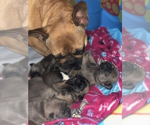 French Bulldog Litter for sale in PIEDMONT, OK, USA