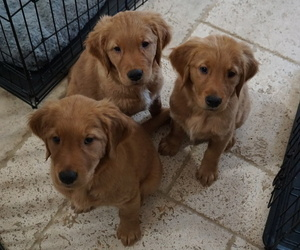 Golden Retriever Litter for sale in SANTA CLARITA, CA, USA