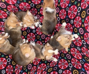 Pembroke Welsh Corgi Litter for sale in LEBANON, MO, USA