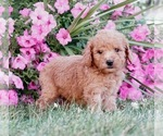 Goldendoodle Puppy For Sale in NAPPANEE, IN, USA