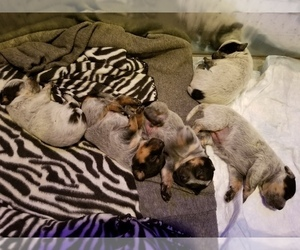 Australian Cattle Dog Litter for sale in GREAT FALLS, MT, USA