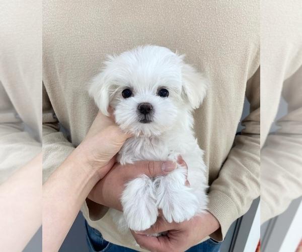 Medium Photo #1 Maltese Puppy For Sale in REDLANDS, CA, USA