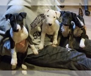 Bull Terrier Litter for sale in CHESAPEAKE, VA, USA